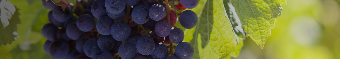 Champagne Prosecco and Sparkling Wine Header Image - Red Grape bunch